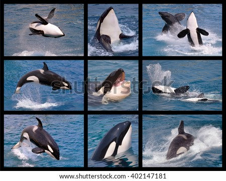 Nine mosaic photos of killer whales (Orcinus orca) - stock photo