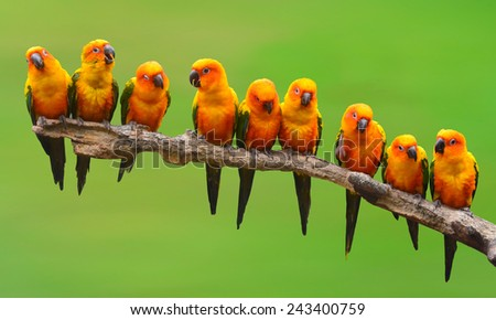 Nine of Sun Conure Parrot bird perching on a branch - stock photo