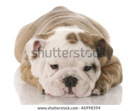 nine week old English bulldog puppy laying down with reflection on white background - stock photo