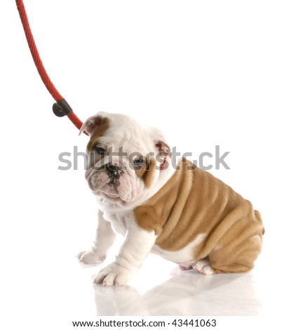 nine week old english bulldog puppy on a leash sitting - stock photo