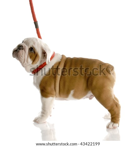 nine week old english bulldog puppy on a red leash - stock photo