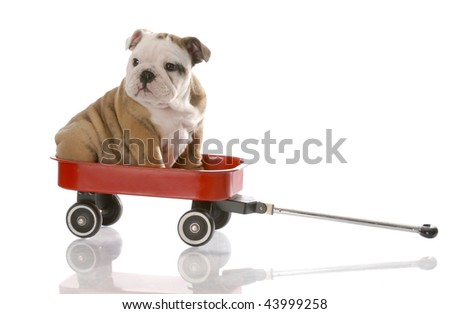 nine week old english bulldog puppy riding in a red wagon - stock photo