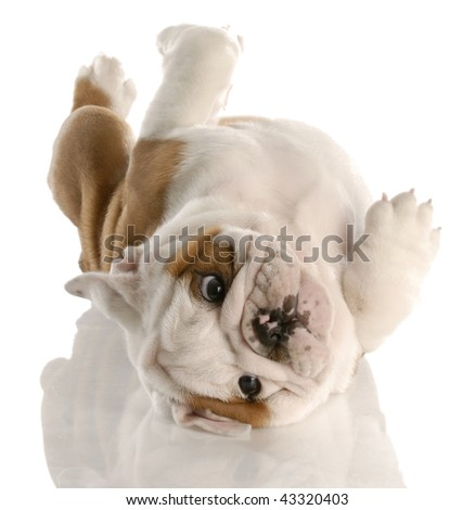 nine week old english bulldog puppy rolling on his back - stock photo