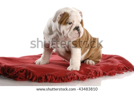 nine week old english bulldog puppy sitting on a red blanket - stock photo
