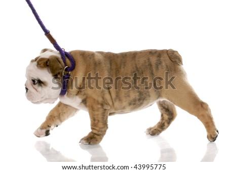 nine week old english bulldog puppy walking on a leash - stock photo
