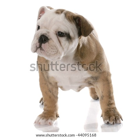 nine week old female english bulldog puppy with reflection on white background