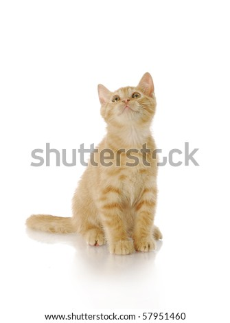 nine week old kitten sitting looking up with reflection on white background