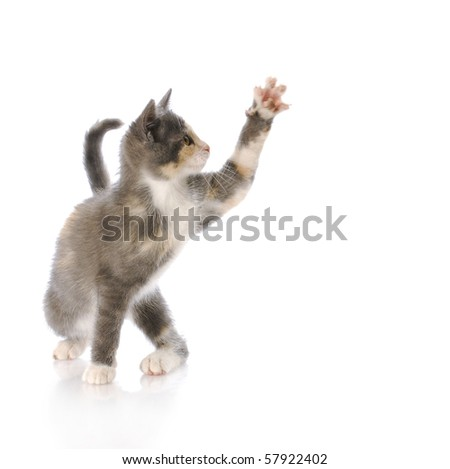 nine week old kitten swatting paw at air with reflection on white background - stock photo