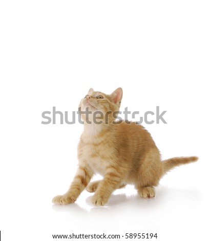 nine week old orange male kitten ready to jump up with reflection on white background