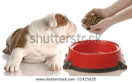 nine week old red and white english bulldog puppy looking to the side - stock photo