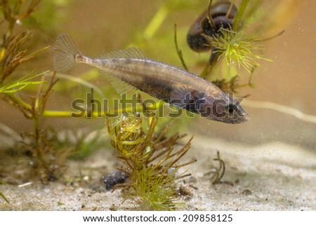 Ninespine Stickleback Freshwater Fish (Pungitius pungitius) in Natural Habitat - stock photo
