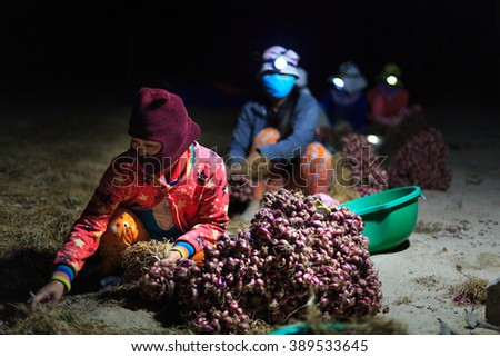 Ninh Thuan Province, Vietnam - February 27, 2016 :the women are harvested purple onions at dawn early morning with a flashlight on the hat. Pictures at a farms in Ninh Thuan Province, Vietnam
