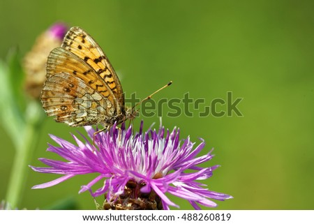Niobe fritillary (Argynnis niobe) butterfly feeding on thistle flower