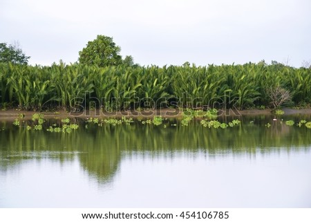 Nipa palm (Nypa fruticans), is a species of palm in family Arecaceae, growing along riverside of Pangpakong river, eastern Thailand. - stock photo