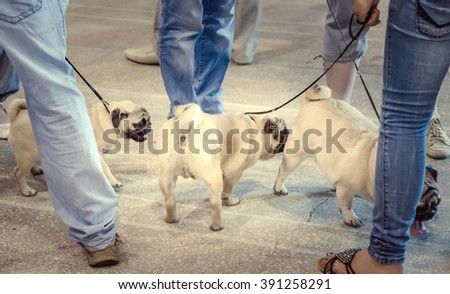 NIZHNY NOVGOROD, RUSSIA - JULY 14, 2013:  Outdoor exhibition of dogs of different breeds. Pug-dogs close up - stock photo