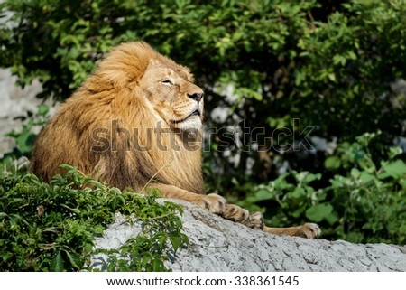 Noble adult male lion is resting on stone rock at green bushes background - stock photo