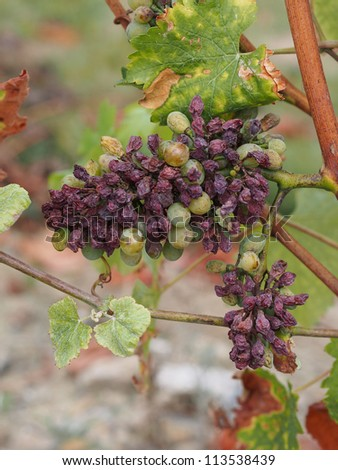 noble rot is a beneficial form of a grey fungus botrytis cinerea, it produces fine and concentrated wines - stock photo