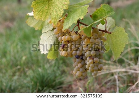 Noble rot of a wine grape, botrytised grapes - stock photo