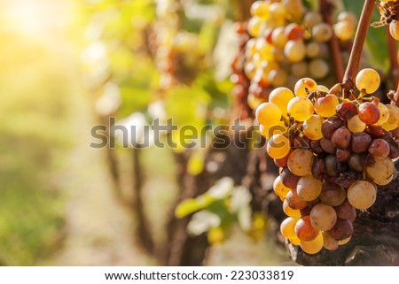 Noble rot of a wine grape, botrytised grapes in sunshine - stock photo