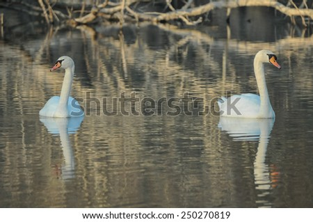 Noble White Swan in the Water Surface - stock photo