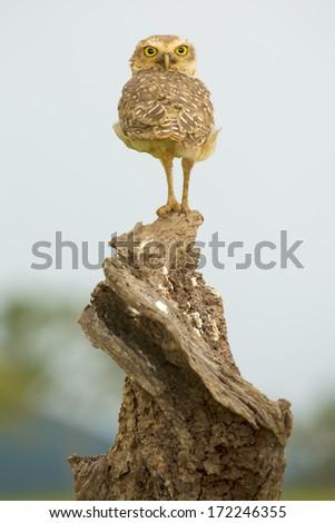NOBRES, BRAZIL - DECEMBER 29: Burrowing Owl spiral pose. December 29, 2013 in Bom Jardim District, Nobres, Mato Grosso, Brazil.. - stock photo