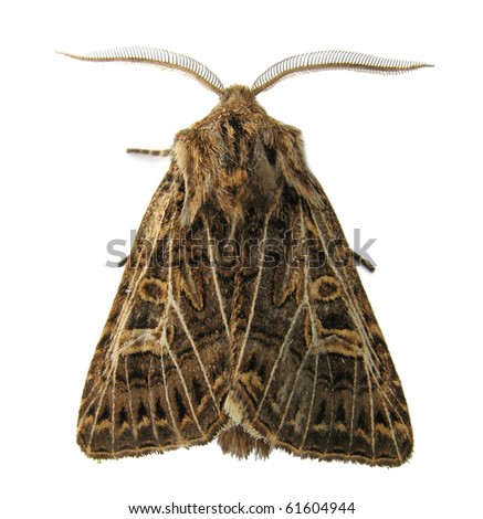Noctuid moth isolated on white - stock photo