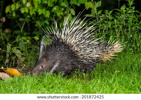 Nocturnal animals Malayan porcupine(Hystrix brachyura) find some food in nature at Kaengkrajarn national park,Thailand - stock photo