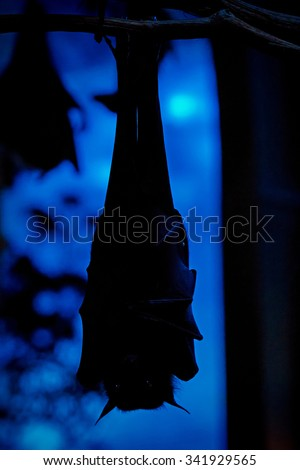 Nocturnal creature Egyptian (Rousettus aegyptiacus) fruit bat hanging upside down from a branch - stock photo