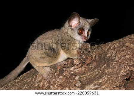 Nocturnal Lesser Bushbaby (Galago moholi) sitting in a tree, South Africa - stock photo