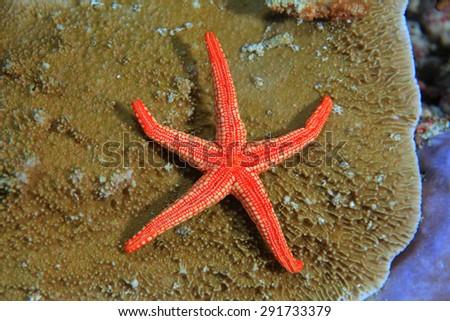 Noduled sea star (Fromia nodosa) on stony coral  - stock photo