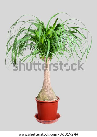 Nolina in a flower pot. Isolation. Studio photo. Close-up. - stock photo