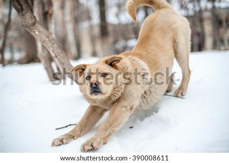 Non-pedigree dog stretching on snow - stock photo