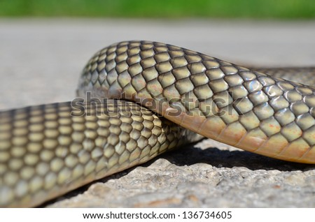 Non- poisonous Aesculapius' snake having a rest on a warm road surface - stock photo