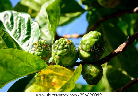 Noni, Great morinda, Beach mulberry. - stock photo