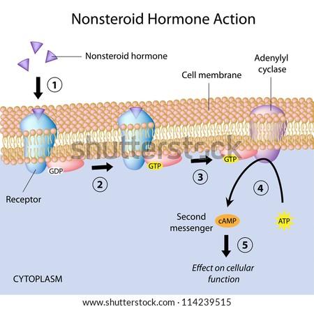 Nonsteroid hormones action - stock photo