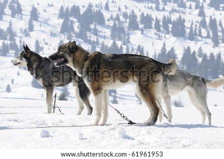 nordic dogs team - stock photo