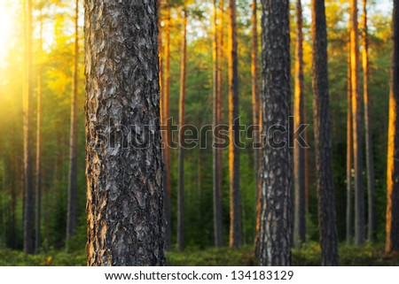 Nordic pine forest in evening light. Short depth-of-field. - stock photo