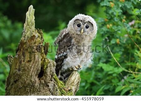 Nordic tawny owl - stock photo