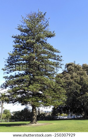 Norfolk Island Pine, a large evergreen coniferous tree, planted in Southern California city of Camarillo - stock photo