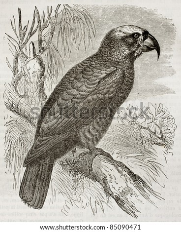 Norfolk Kaka old illustration (Nestor productus). Created by Kretschmer, published on Merveilles de la Nature, Bailliere et fils, Paris, 1878 - stock photo