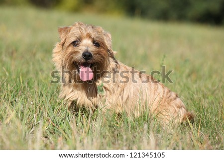 Norfolk terrier - stock photo