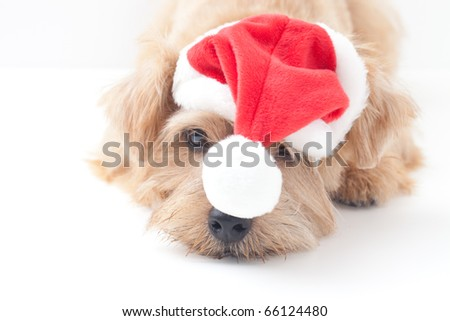 norfolk terrier dog at Christmas - stock photo
