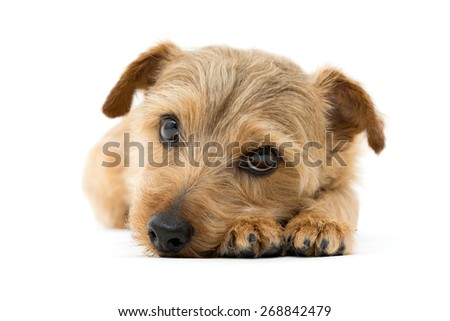 Norfolk terrier dog isolated on white background - stock photo