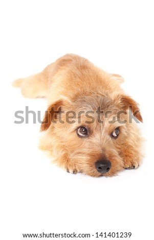 Norfolk terrier dog lying on white background - stock photo