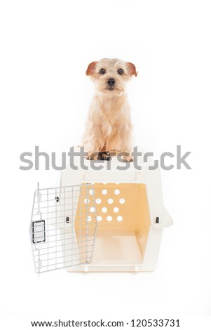 Norfolk terrier dog on pet carrier isolated on white background - stock photo
