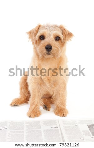 Norfolk terrier dog reading a newspaper