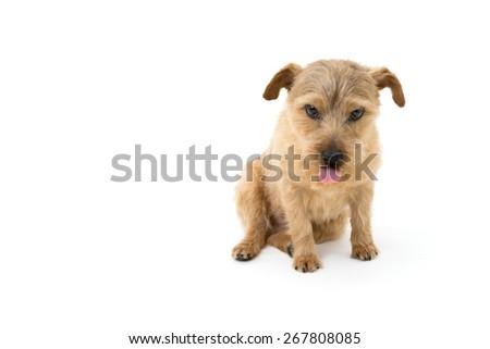 Norfolk terrier dog showing tongue isolated on white background - stock photo
