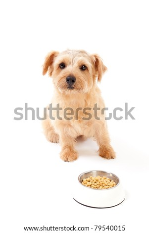 Norfolk terrier dog waiting for food - stock photo