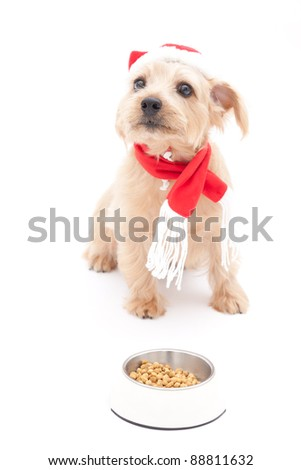 Norfolk terrier dog waiting for food at Christmas
