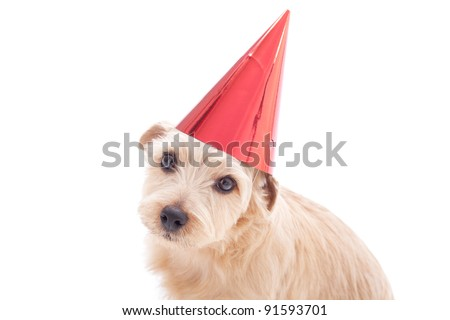 Norfolk terrier dog With birthday party hat isolated on white background - stock photo